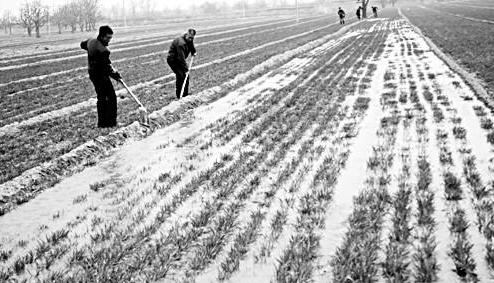大雪前后小麦越冬