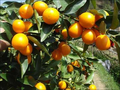 处暑时节果树施肥以有机肥为主