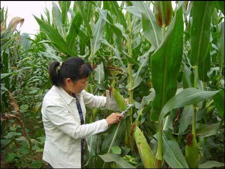 秋分小麦病虫害防治措施