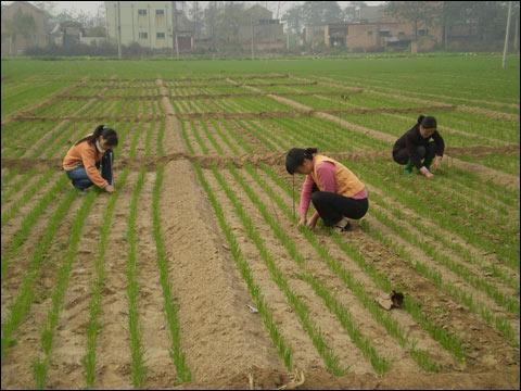 冬小麦冬前管理技术意见
