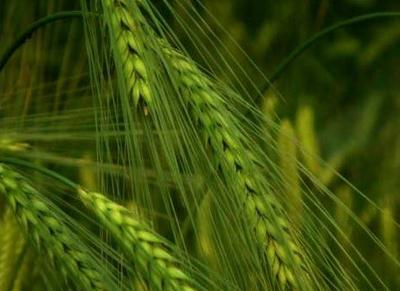 小满时节气候特征与农事活动