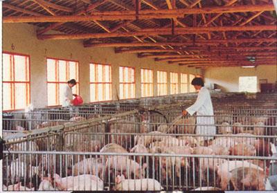 谷雨时节的畜牧养殖