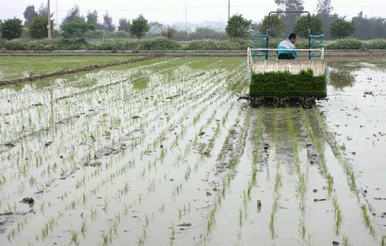 清明时节水稻插秧注意事项