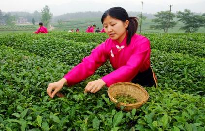 谷雨时节茶叶农事