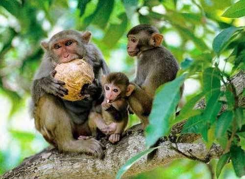 一只小猕猴身后跟着两只老猕猴