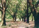 泰兴古银杏森林公园