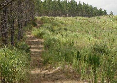 这片森林既是一片茂密的沙土地松树林