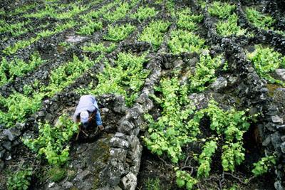 皮库岛葡萄园文化景观