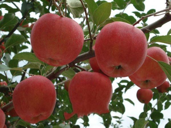 临汾红富士苹果