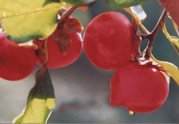 铁铺大红柿