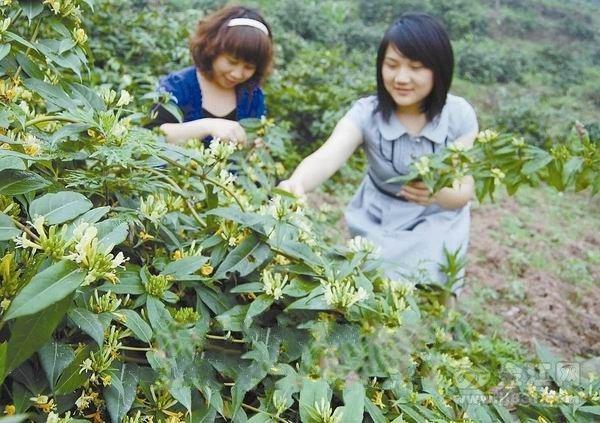 蕨溪金银花