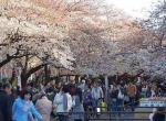 日本樱花演绎粉色浪漫 莫失良机徒遗憾