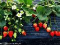 溧水天生桥、傅家边农业科技园、采草莓一日游