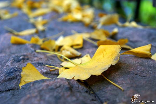 银杏写秋语,遍地黄叶遍地金 成都 银杏